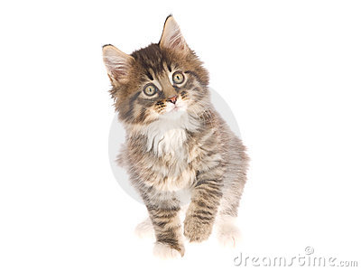 Beautiful Maine Coon kitten on white background