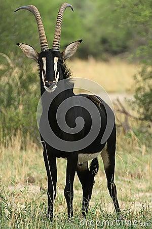 Free Beautiful Male Sable Antelope, Hippotragus Niger, Hwange National Park, Zimbabwe Royalty Free Stock Image - 71007266