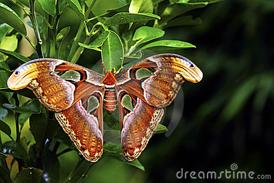 Beautiful Mammoth Butterfly
