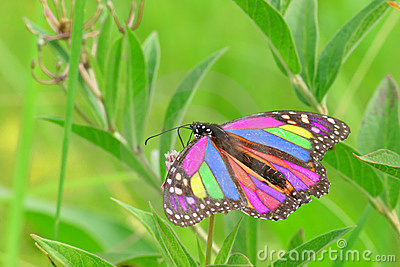 Beautiful Monarch-Butterfly