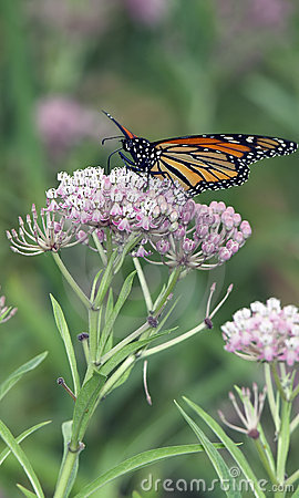 Beautiful Monarch Butterfly Feeding on Pink Flowers