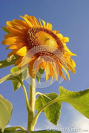 A beautiful morning, Sunflower & blue sky