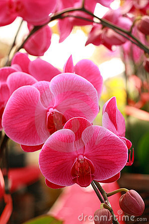 Beautiful moth orchid