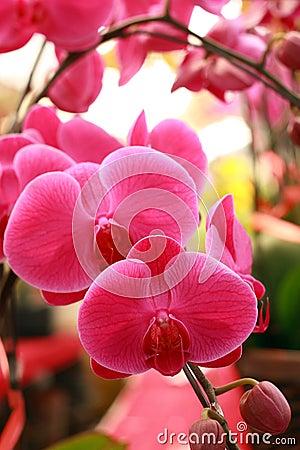 Beautiful moth orchid