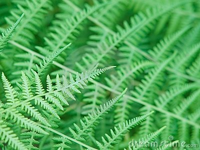 Beautiful natural fern