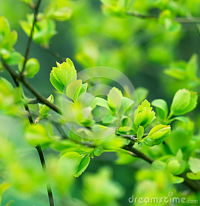 Free Beautiful Nature - Budding Leaves Royalty Free Stock Photo - 30430385