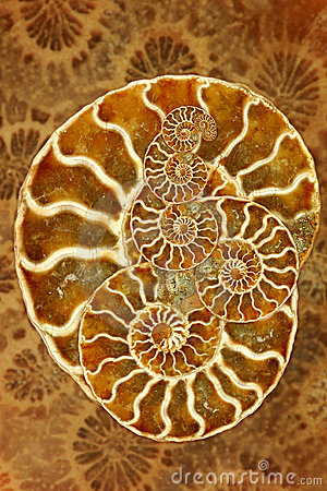 Beautiful Nautilus