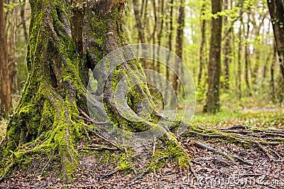 Beautiful oak tree trunk