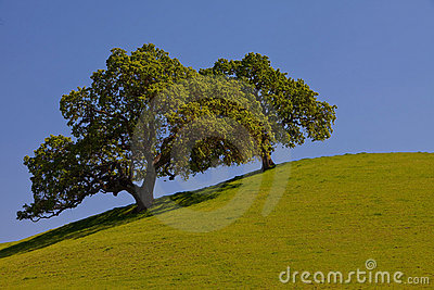 Beautiful oak trees on a green hill with blue sky