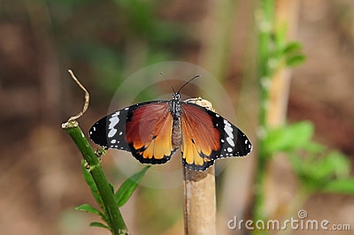 Beautiful orange butterfly in the nature