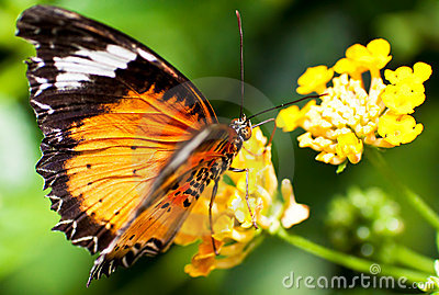Beautiful orange butterfly on a yellow flower