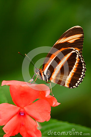 Free Beautiful Orange Butterfly Zebra Longwing, Heliconius Charitonius. Butterfly In Nature Habitat. Nice Insect From Costa Rica. Butte Stock Photo - 75950420