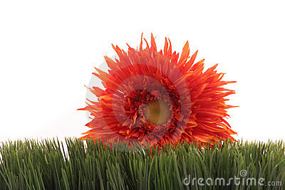 Beautiful orange daisy on green grass isolated on white background