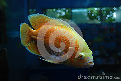 Beautiful orange fish