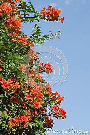 Free Beautiful Orange Flowers Royalty Free Stock Images - 11411999