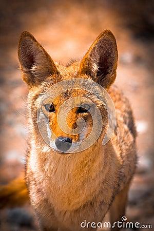 Free Beautiful Orange Fox Royalty Free Stock Images - 130816779