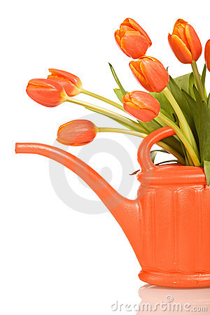 Beautiful orange tulips in watering can - isolated