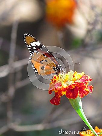 Beautiful orange viceroy butterfly