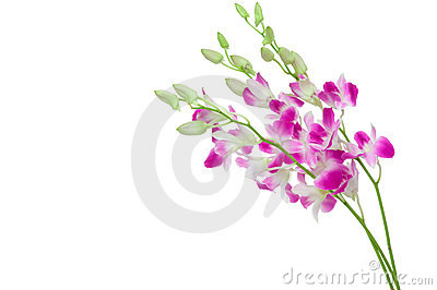 Beautiful Orchid isolated on white