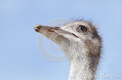 Beautiful Ostrich
