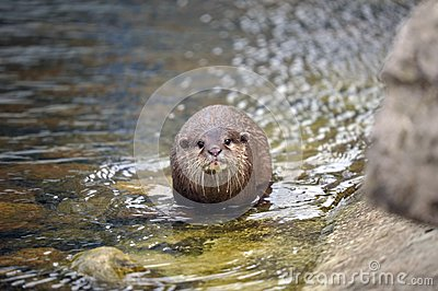 Beautiful Otter