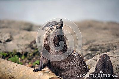 Beautiful Otter