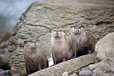 Beautiful Otters