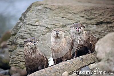 Beautiful Otters