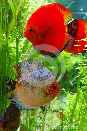 Free Beautiful Pair Of Discus Fish Royalty Free Stock Images - 133943719