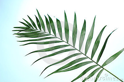 Beautiful palm leaf