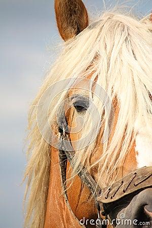 Beautiful palomino draught horse head close up