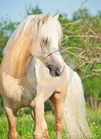 Beautiful palomino welsh pony in blossom field