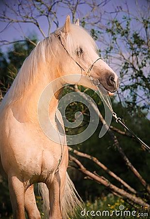Beautiful palomino welsh pony