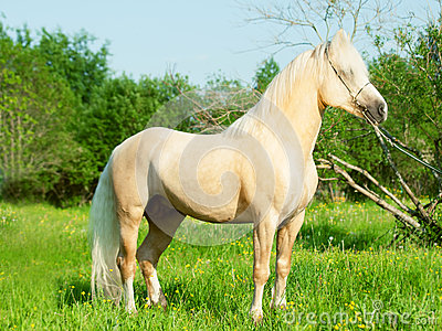 Beautiful palomino welsh pony stallion