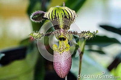 Beautiful paphiopedilum orchid