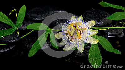 Beautiful passiflora green branch with flower on zen stones