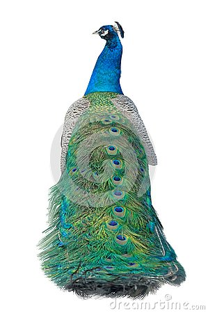 Free Beautiful Peacock Isolated On White Royalty Free Stock Photography - 145024017