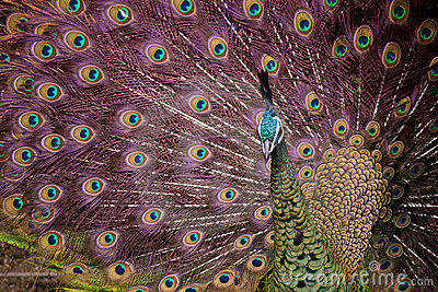 Beautiful Peacock showing off plumage