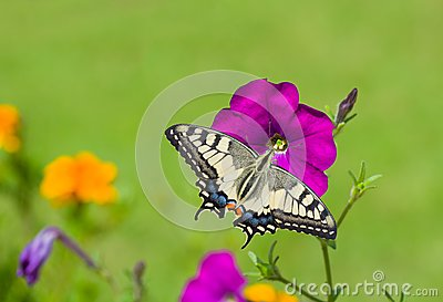 Beautiful petunia flower is feeding butterfly
