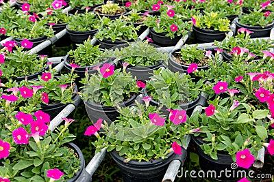 Beautiful petunia flowers close up