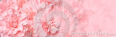 Beautiful Pink Carnation Flower Header