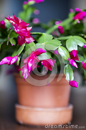 Free Beautiful Pink Christmas Cactus In A Clay Pot Royalty Free Stock Images - 47810999