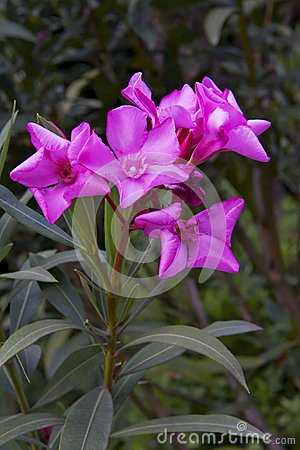 Beautiful pink flowers blooming oleander