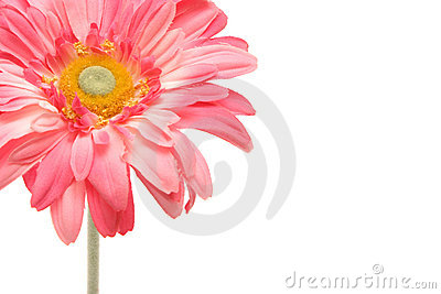 Beautiful pink gerbera daisy isolated on white