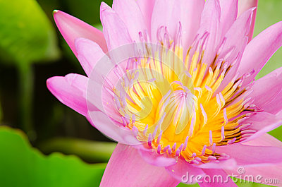 Beautiful pink lotus blossom