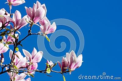 Beautiful Pink Magnolia Flower