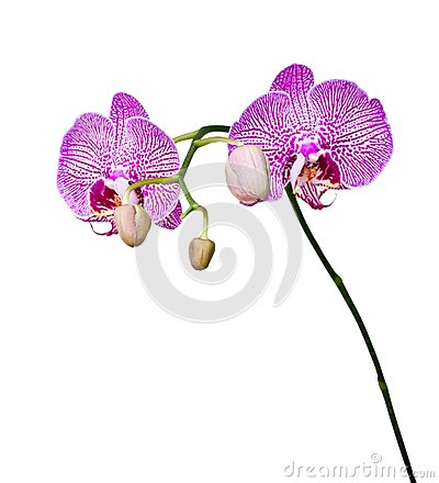 Beautiful pink orchid blooming.