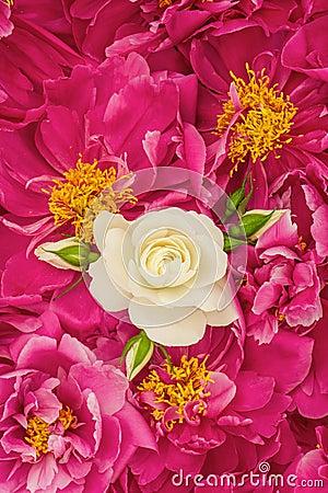 Beautiful pink peony flowers with white single rose