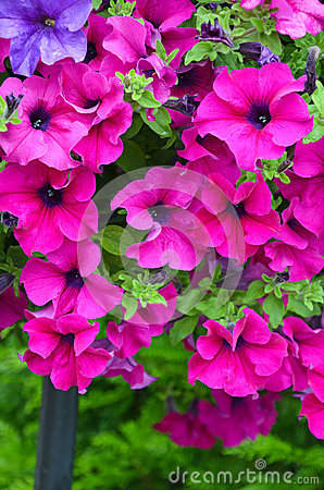 Beautiful pink petunias