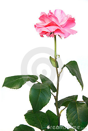 Beautiful Pink Rose Stock Photography - Image: 14605262